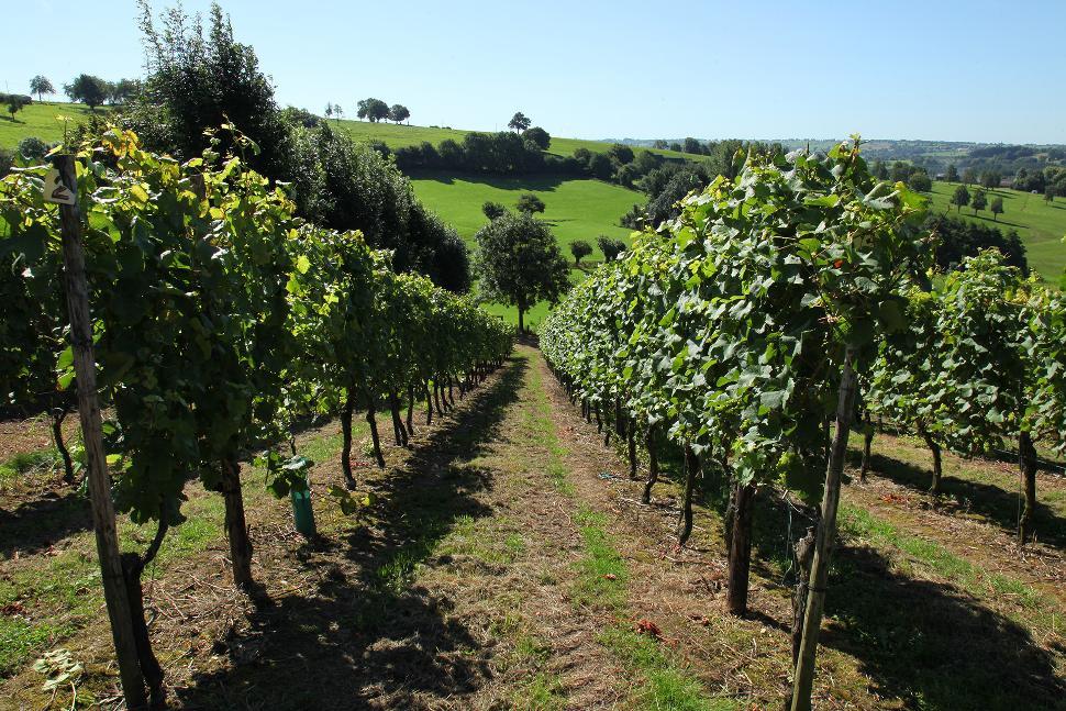 Domaine Les Marnières - Dalhem - Pieds de vignes