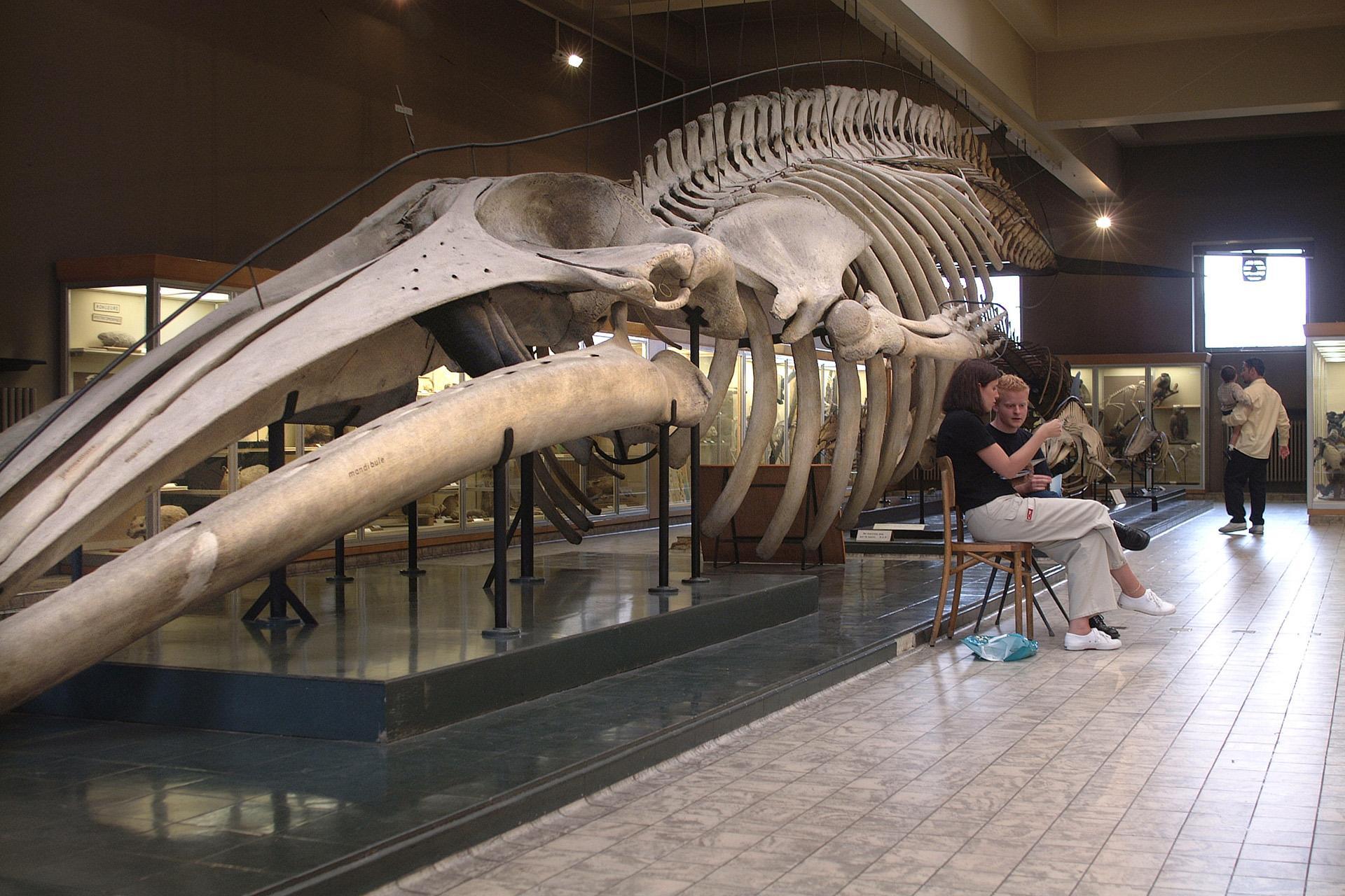 Aquarium-Museum - Liège - Squelette baleine