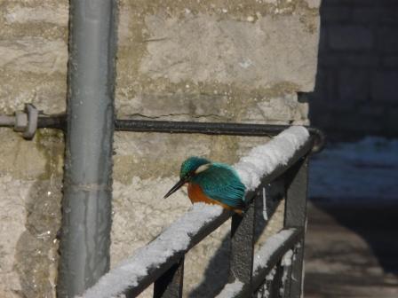 Les oiseaux des eaux vives