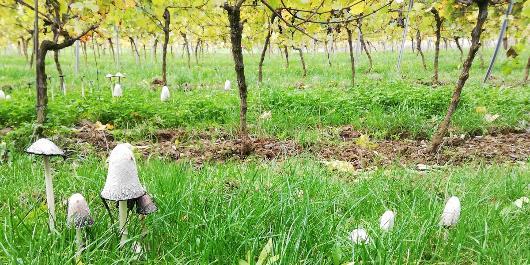 Visite guidée : À la découverte d'un vignoble belge