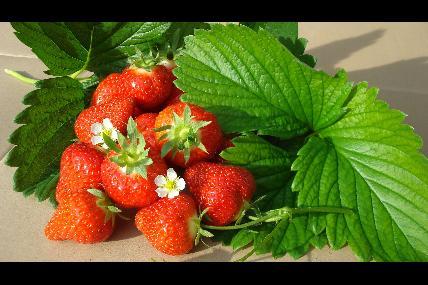 The Franière strawberry farm