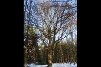 Promenade guidée - Le Staneux, le chêne à la Vierge
